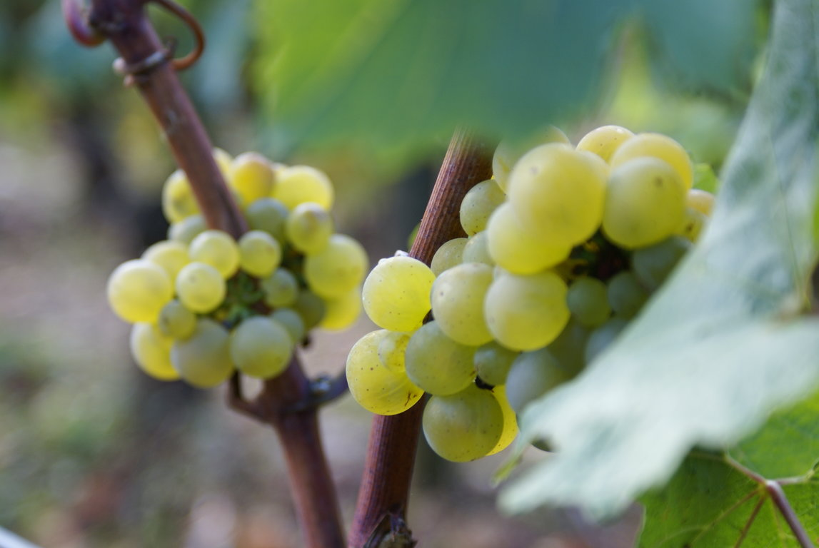 Chardonnay 2016 harvest (21 to the 27 of september)